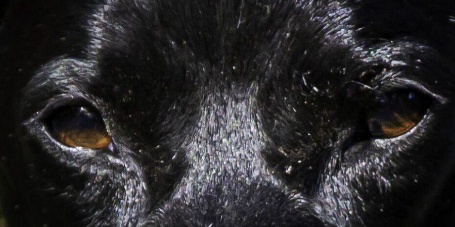 Hundeaugen